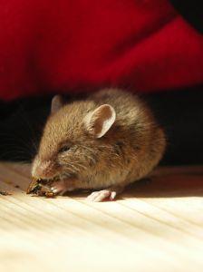 להדביר חולדות,  עכברים, מכרסמים